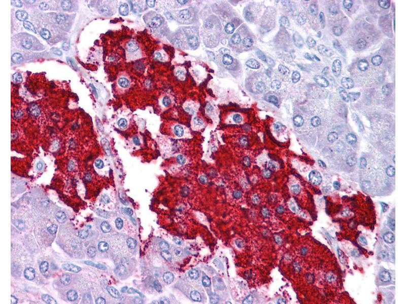 Immunohistochemistry (IHC) image for anti-Leptin (LEP) (C-Term) antibody (ABIN604739)