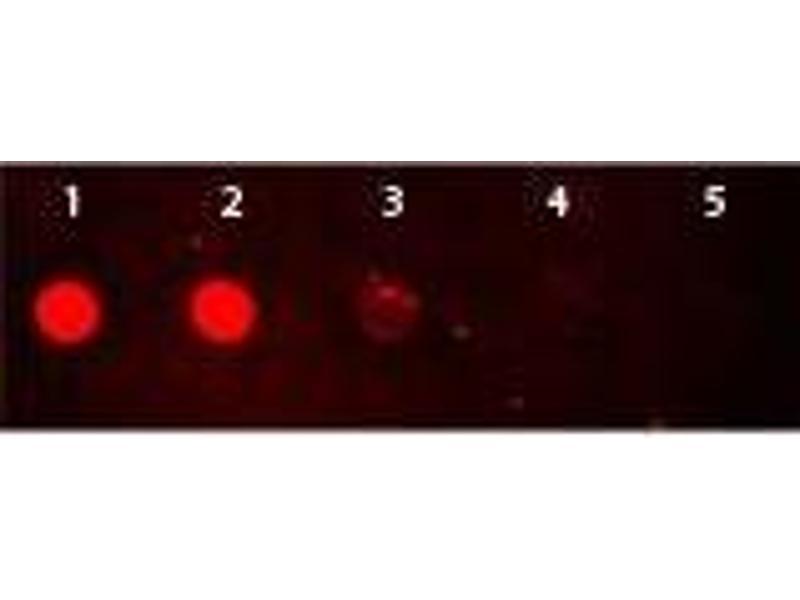 Dot Blot (DB) image for Goat anti-Rabbit IgG (Heavy & Light Chain) antibody (TRITC) (ABIN964975)