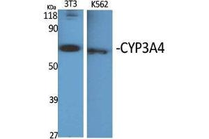 Image no. 2 for anti-Cytochrome P450, Family 3, Subfamily A, Polypeptide 4 (CYP3A4) (Internal Region) antibody (ABIN3184195)