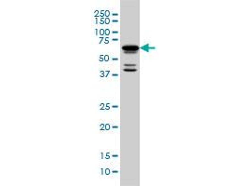 Image no. 2 for anti-POU Class 3 Homeobox 2 (POU3F2) (AA 1-67) antibody (ABIN562322)