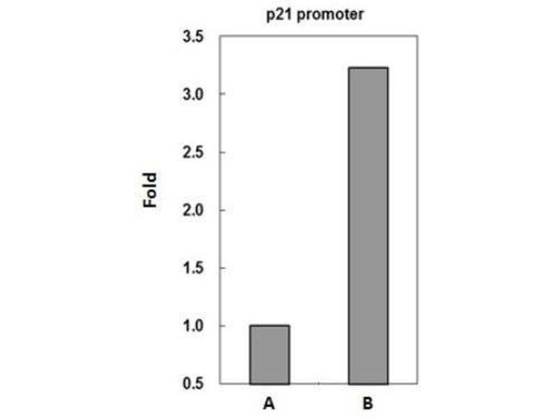 Immunoprecipitation (IP) image for anti-Tumor Protein P53 (TP53) antibody (ABIN152250)