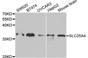 Image no. 1 for anti-Solute Carrier Family 25 (Mitochondrial Carrier, Adenine Nucleotide Translocator), Member 4 (SLC25A4) antibody (ABIN3022646)