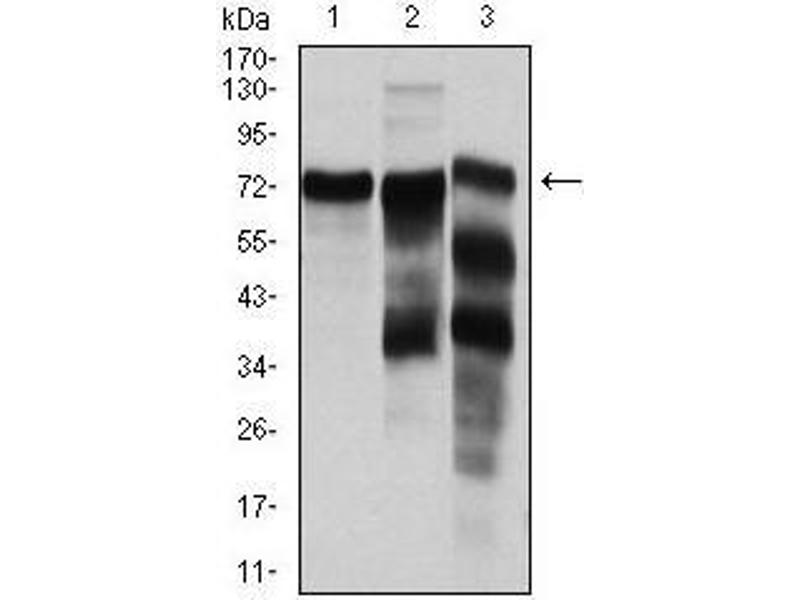 Western Blotting (WB) image for anti-YAP1 antibody (Yes-Associated Protein 1) (ABIN969574)