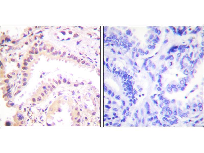 Image no. 1 for anti-Cullin 2 (CUL2) antibody (ABIN1575907)
