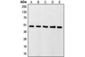 Western Blotting (WB) image for anti-Caspase 9 antibody (Caspase 9, Apoptosis-Related Cysteine Peptidase) (Center) (ABIN2705696)