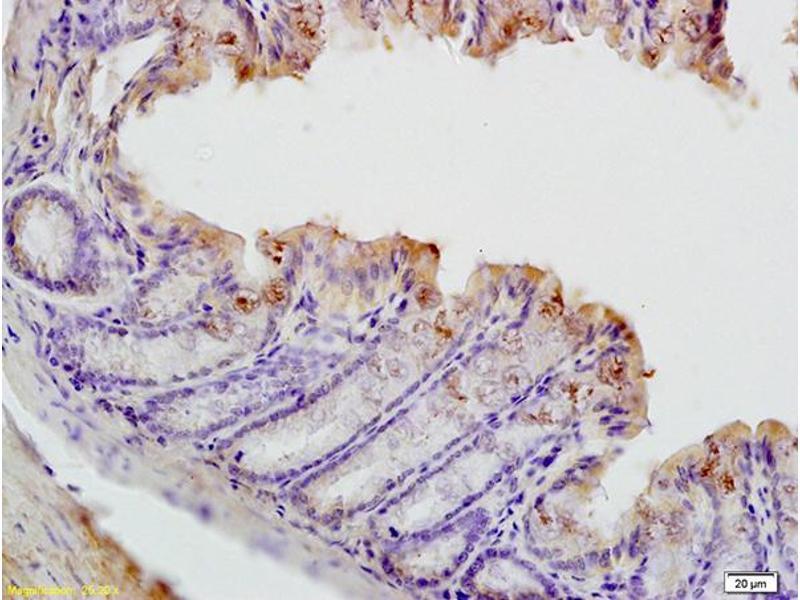 Immunohistochemistry (IHC) image for anti-Checkpoint Kinase 1 (CHEK1) (AA 280-330), (pSer317) antibody (ABIN757072)