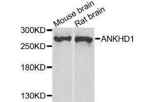 Image no. 1 for anti-Ankyrin Repeat and KH Domain Containing 1 (ANKHD1) antibody (ABIN6136883)