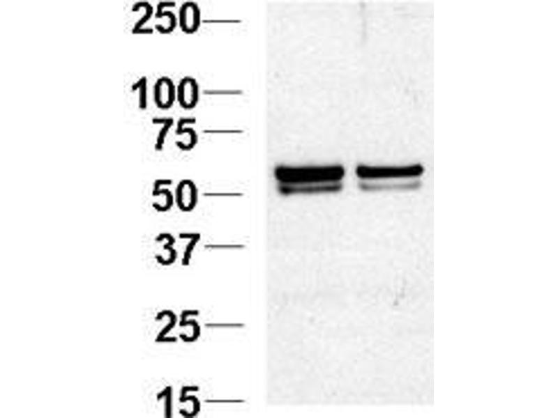 Western Blotting (WB) image for anti-Nucleosome Assembly Protein 1-Like 1 (NAP1L1) (AA 1-30), (N-Term) antibody (ABIN388625)