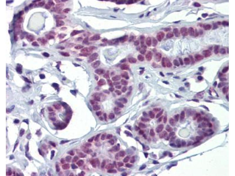 Immunohistochemistry (IHC) image for anti-SOX4 (N-Term) antibody (ABIN2780469)