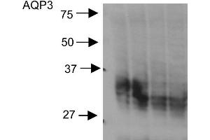 Image no. 2 for anti-Aquaporin 3 (Gill Blood Group) (AQP3) (C-Term) antibody (FITC) (ABIN2486361)