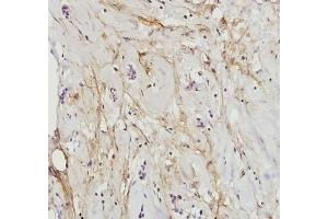 Immunohistochemistry (Paraffin-embedded Sections) (IHC (p)) image for anti-Paxillin (PXN) (N-Term) antibody (ABIN447010)