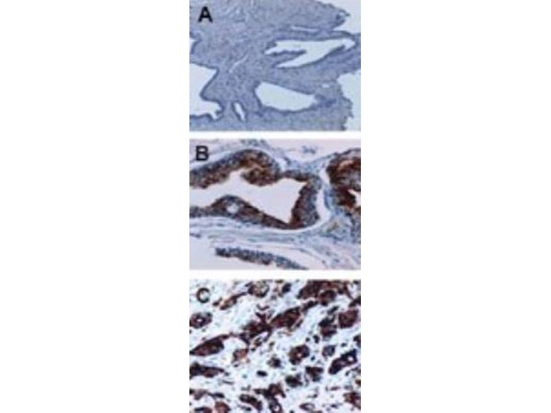 Immunohistochemistry (Paraffin-embedded Sections) (IHC (p)) image for anti-Baculoviral IAP Repeat Containing 2 (BIRC2) antibody (ABIN4298716)