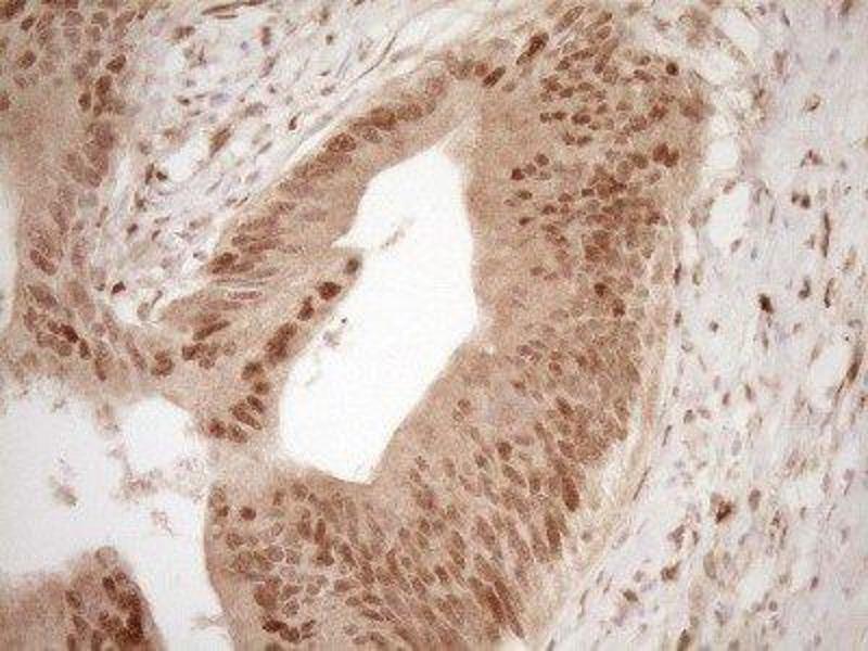 Immunohistochemistry (IHC) image for anti-Zinc Finger Protein 163 (ZNF163) antibody (ABIN4313994)