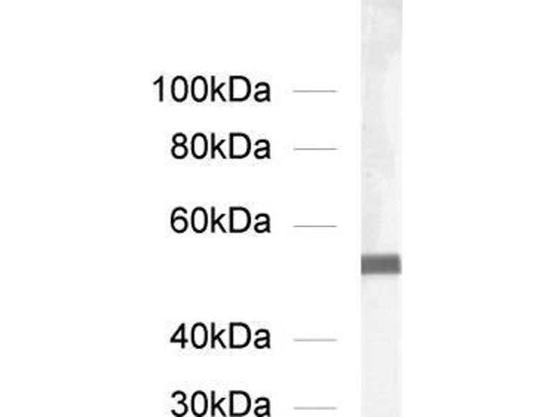 Western Blotting (WB) image for anti-alpha Tubulin (TUBA1) (AA 419-435) antibody (ABIN1742547)