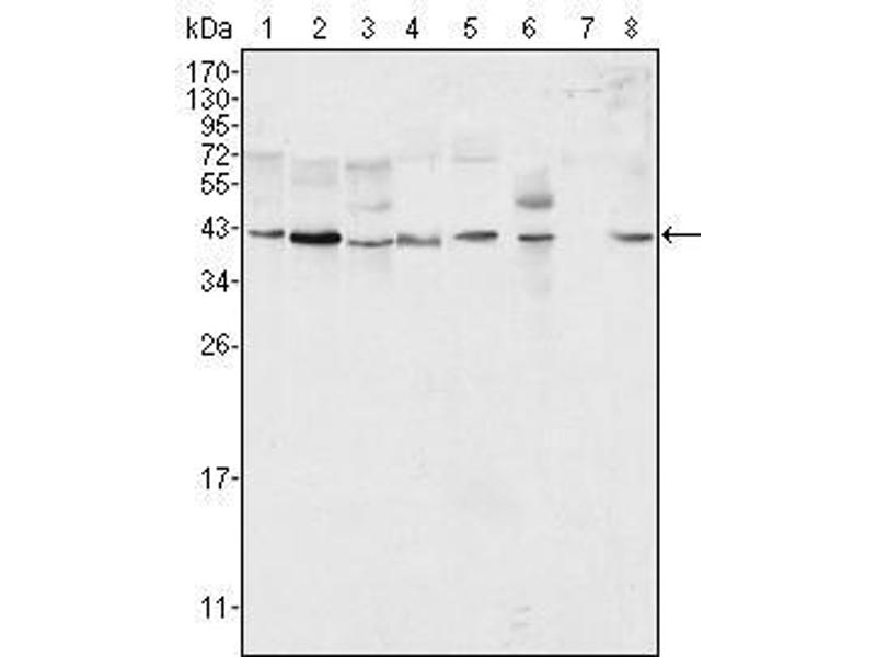 Western Blotting (WB) image for anti-Mitogen-Activated Protein Kinase 1 (MAPK1) antibody (ABIN3210001)