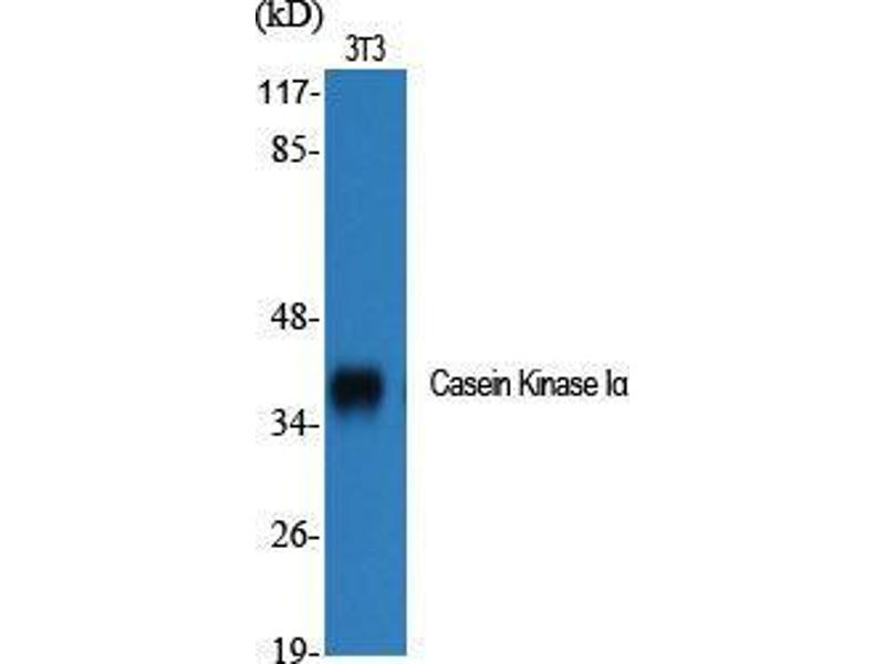 Western Blotting (WB) image for anti-Casein Kinase 1, alpha 1 (CSNK1A1) (Ser2808) antibody (ABIN3183658)