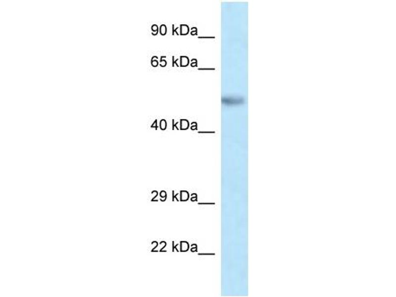 Western Blotting (WB) image for anti-Paired Box 8 (PAX8) (C-Term) antibody (ABIN2778309)