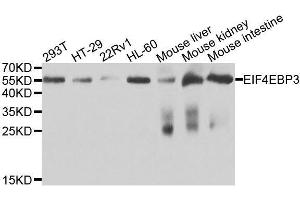 Image no. 1 for anti-Eukaryotic Translation Initiation Factor 4E Binding Protein 3 (EIF4EBP3) antibody (ABIN6135659)