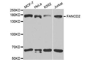 Image no. 2 for anti-Fanconi Anemia, Complementation Group D2 (FANCD2) antibody (ABIN3022849)