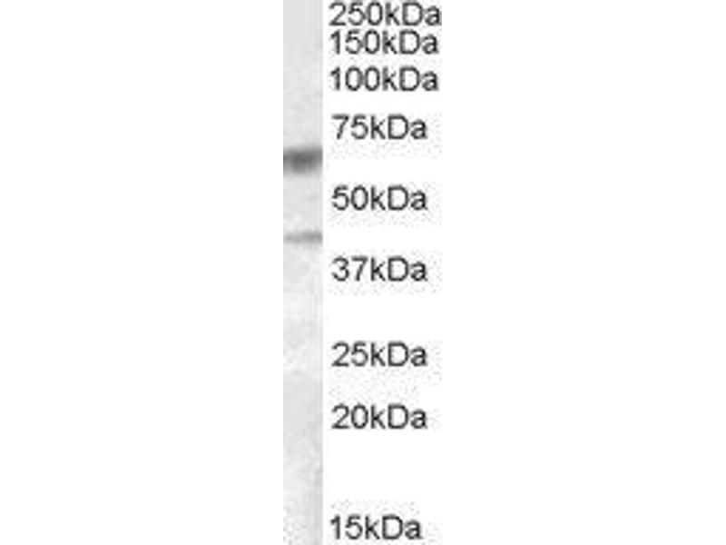 Western Blotting (WB) image for Diacylglycerol O-Acyltransferase 2 (DGAT2) peptide (ABIN369303)