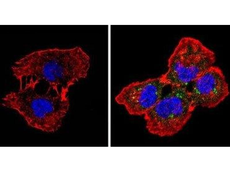 Immunofluorescence (IF) image for anti-Spectrin beta Chain, Erythrocyte (SPTB) antibody (ABIN152731)