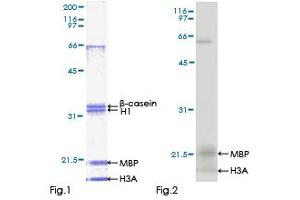 Image no. 1 for Mitogen-Activated Protein Kinase 13 (MAPK13) (AA 1-365) protein (GST tag) (ABIN1310271)