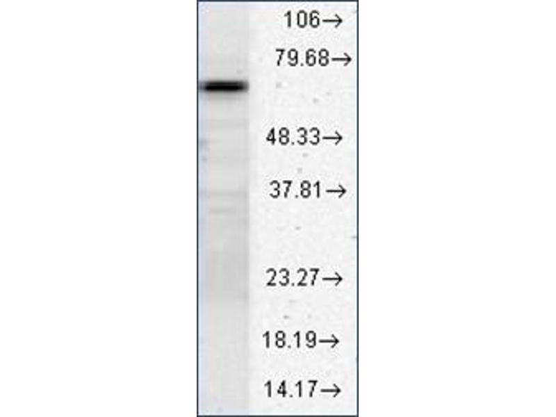 Image no. 1 for anti-Heat Shock 70kDa Protein 8 (HSPA8) (AA 618-637) antibody (ABIN264847)