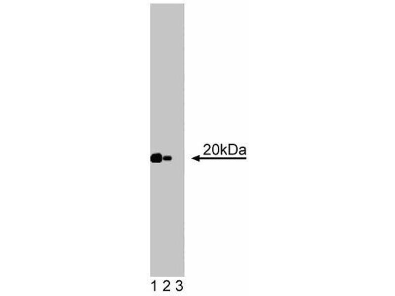 Western Blotting (WB) image for anti-Caveolin 2 antibody (CAV2) (AA 42-162) (ABIN968108)