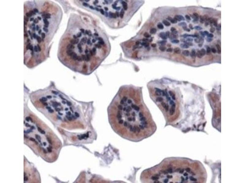 Immunohistochemistry (IHC) image for anti-Mitofusin 1 (MFN1) (AA 5-100), (N-Term) antibody (ABIN4334755)