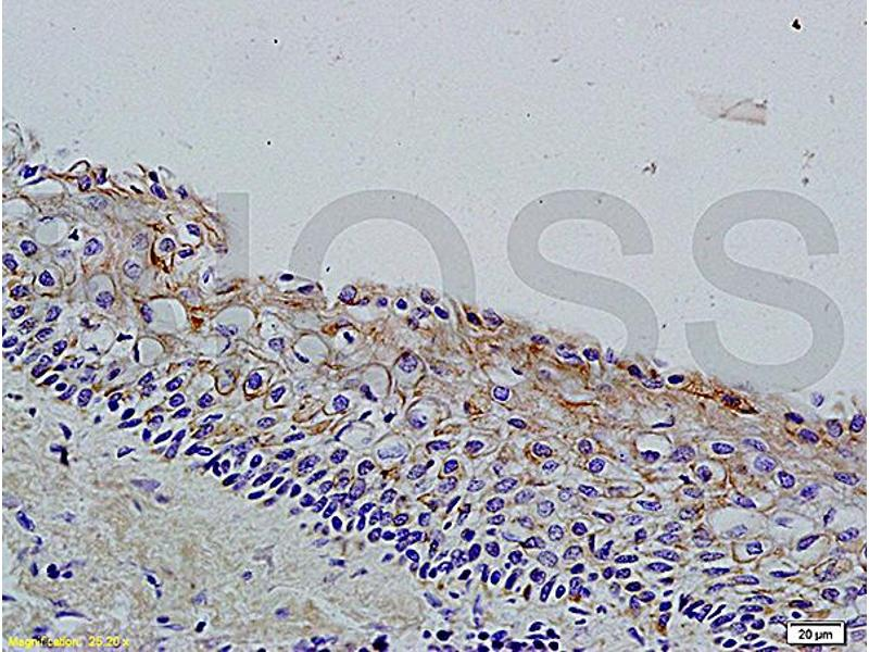 Immunohistochemistry (IHC) image for anti-WNT3A antibody (Wingless-Type MMTV Integration Site Family, Member 3A) (AA 300-340) (ABIN733178)