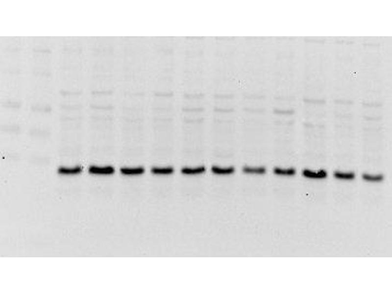 Western Blotting (WB) image for anti-Leptin Receptor (LEPR) (AA 540-590) antibody (ABIN730303)