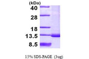 Image no. 1 for Small Nuclear Ribonucleoprotein Polypeptide F (SNRPF) (AA 1-86) protein (His tag) (ABIN667847)