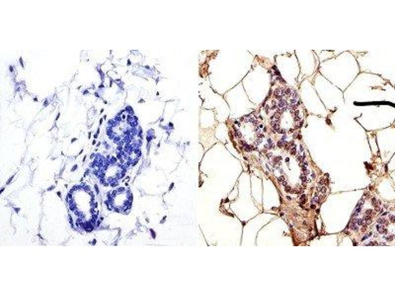 Immunohistochemistry (IHC) image for anti-TRAF3 antibody (TNF Receptor-Associated Factor 3) (ABIN266928)