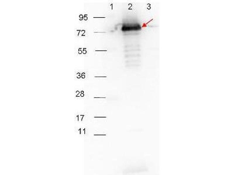 Western Blotting (WB) image for Goat anti-Rabbit IgG (Heavy & Light Chain) antibody (HRP) (ABIN102010)