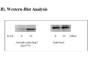 Image no. 6 for Signal Transducer and Activator of Transcription 1, 91kDa (STAT1) ELISA Kit (ABIN625243)