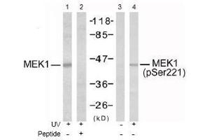 Image no. 1 for anti-Mitogen-Activated Protein Kinase Kinase 1 (MAP2K1) (pSer221), (pSer222) antibody (ABIN196888)