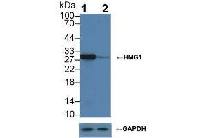 Image no. 6 for anti-High Mobility Group Box 1 (HMGB1) (AA 1-215) antibody (ABIN1078146)
