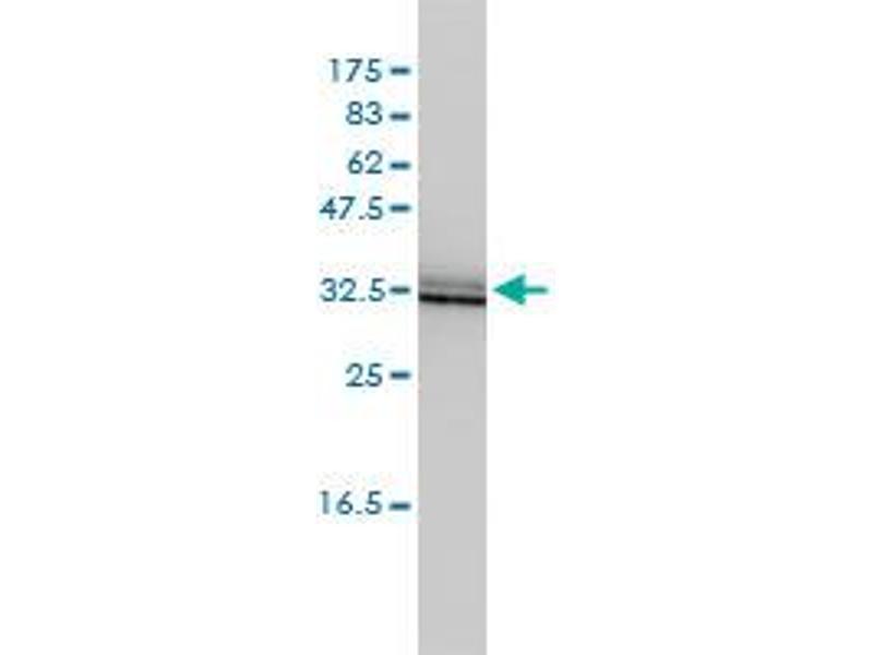 Image no. 1 for anti-Single Immunoglobulin and Toll-Interleukin 1 Receptor (TIR) Domain (SIGIRR) (AA 1-410) antibody (ABIN528393)