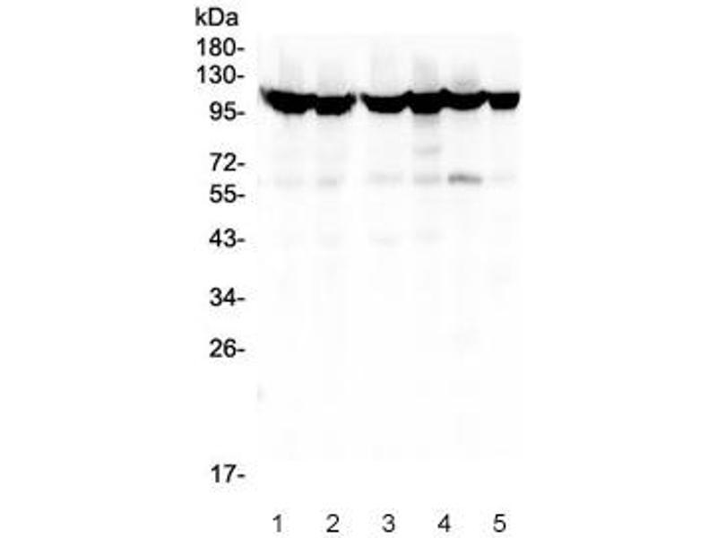 Western Blotting (WB) image for anti-MSH2 (AA 337-583) antibody (ABIN3031884)