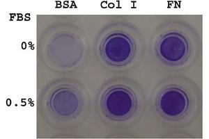image for CytoSelect™ 24-well Cell Haptotaxis Assay (8 μm), COL-coated, Colorimetric (ABIN2344836)