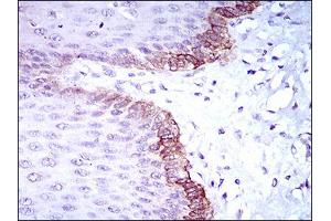 Image no. 5 for anti-Breast Cancer 1 (BRCA1) (AA 229-335) antibody (ABIN1724848)