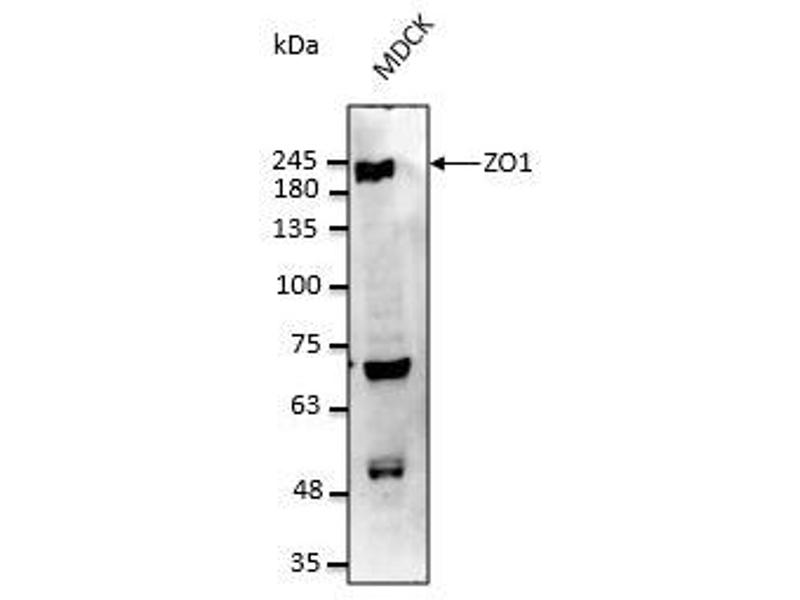 Western Blotting (WB) image for anti-Tight Junction Protein 1 (Zona Occludens 1) (TJP1) (C-Term) antibody (ABIN6254231)