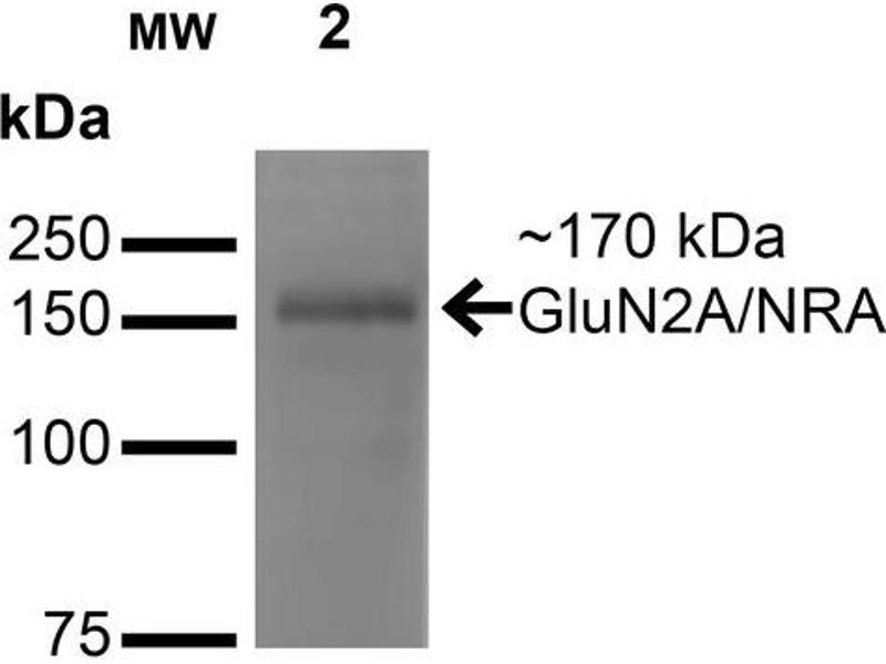 Western Blotting (WB) image for anti-Glutamate Receptor, Ionotropic, N-Methyl D-Aspartate 2a (GRIN2A) (AA 75-325) antibody (Atto 390) (ABIN2483869)