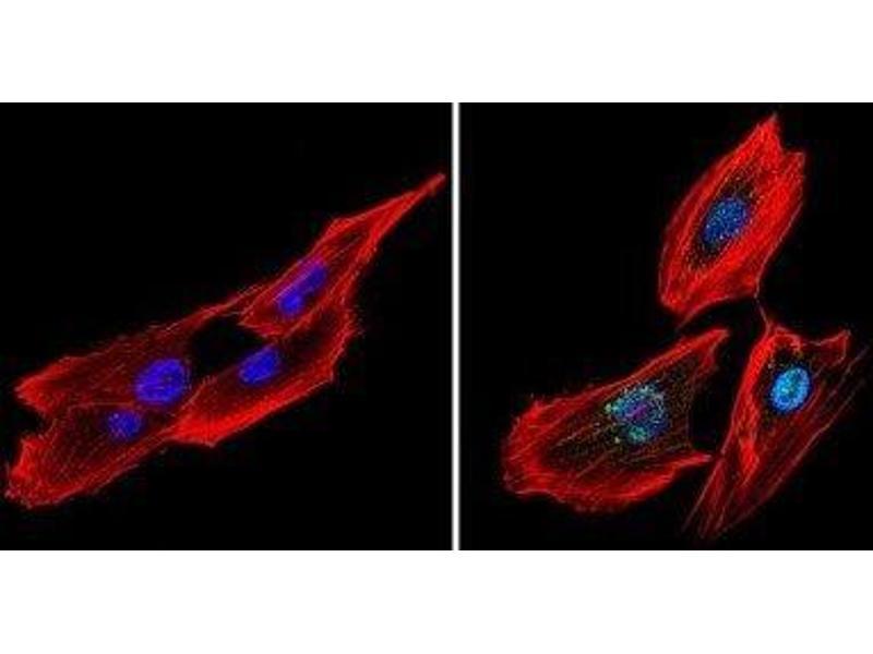 Immunofluorescence (IF) image for anti-cAMP Responsive Element Binding Protein 1 (CREB1) antibody (ABIN4300445)