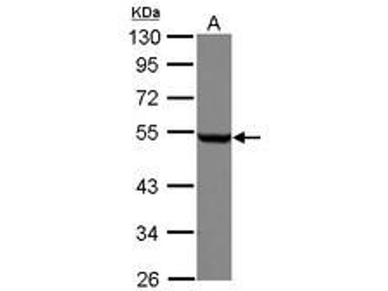 Image no. 2 for anti-Tubulin, beta (TUBB) (AA 160-447) antibody (ABIN1501915)