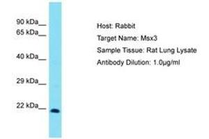 Image no. 1 for anti-Homeobox, Msh-Like 3 (MSX3) (C-Term) antibody (ABIN6750260)