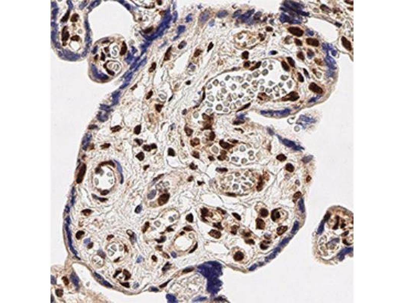 Immunohistochemistry (Paraffin-embedded Sections) (IHC (p)) image for anti-TAR DNA Binding Protein (TARDBP) (AA 350-414), (C-Term) antibody (ABIN188986)