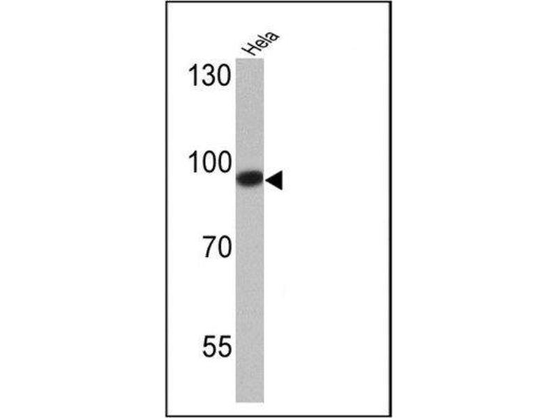 Simple Western (SimWes) image for anti-DNMT3B antibody (DNA (Cytosine-5-)-Methyltransferase 3 beta) (AA 1-14) (ABIN152675)