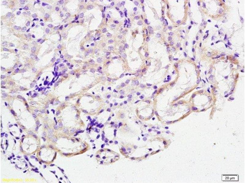 Immunohistochemistry (Paraffin-embedded Sections) (IHC (p)) image for anti-Cathepsin Z (CTSZ) (AA 140-190) antibody (ABIN761561)