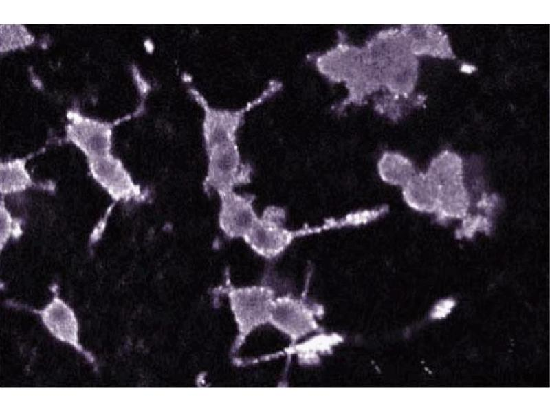 Immunofluorescence (IF) image for anti-Protein Kinase C, alpha (PKCa) (AA 270-427) antibody (ABIN967750)